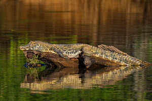 Yacare caiman (Caiman yacare) resting on log, reflected in water Cuiaba River, Pantanal Matogrossense National Park, Pantanal, Brazil.  -  Jeff Foott