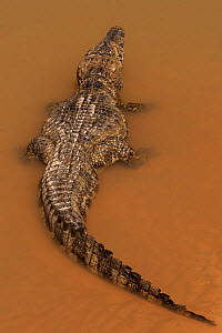 Yacare caiman (Caiman yacare) Matogrossense National Park, Pantanal, wetlands of Brazil in Dry season, Cuiaba River.  -  Jeff Foott