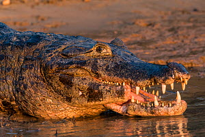 Yacare caiman (Caiman yacare) with deformed / broken jaw, possibly hit by boat, Cuiaba River, Pantanal Matogrossense National Park, Pantanal, Brazil.  -  Jeff Foott