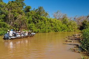 Yacare caiman (Caiman yacare) group on riverside with a boat full of tourists, Cuiaba River, Pantanal Matogrossense National Park, Pantanal, Brazil.  -  Jeff Foott