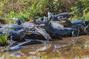 Yacare caiman (Caiman yacare) group basking, mouths open to keep cool. Pantanal Matogrossense National Park, Pantanal, Brazil.  -  Jeff Foott