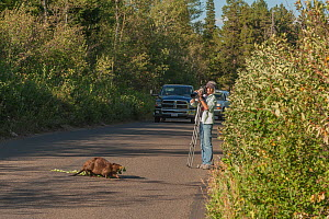 Photographer watching Beaver (Castor canadensis) crossing the road carrying Aspen branch. Grand Teton National Park, Wyoming, USA. August 2012.  -  Jeff Foott