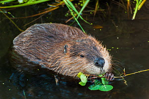 Beaver (Castor canadensis) feeding on Aspen, Grand Teton National Park, Wyoming, USA, August.  -  Jeff Foott