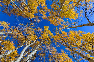 View up into canopy of Aspen (Populus) trees against blue sky in autumn, Grand Staircase-Escalante National Monument, Utah, USA. October.  -  Jeff Foott