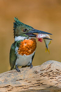 Amazon kingfisher (Chloroceryle amazona) with fish, Cuiaba, Pantanal Matogrossense National Park, Pantanal, Brazil.  -  Jeff Foott