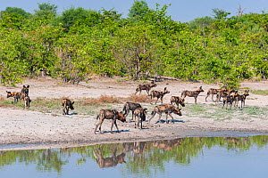 African wild dog (Lycaon pictus) pack passing waterhole while hunting, Chobe National Park, Botswana.  -  Jeff Foott