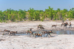 African wild dog (Lycaon pictus) pack passing b ywaterhole while hunting, Chobe National Park, Botswana.  -  Jeff Foott