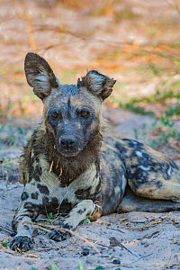 African wild dog (Lycaon pictus) with torn ear, resting.Chobe National Park, Botswana.  -  Jeff Foott