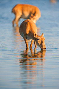 Saiga antelope (Saiga tatarica) drinking in water, Astrakhan, Southern Russia, Russia. Critically endangered species. October.  -  Valeriy Maleev