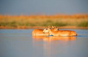 Saiga antelope (Saiga tatarica) female and male in water,  Astrakhan, Southern Russia, Russia. Critically endangered species. October.  -  Valeriy Maleev