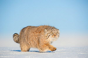 Pallas's cat (Otocolobus manul) walking in snow, Gobi Desert, Mongolia. December.  -  Valeriy Maleev