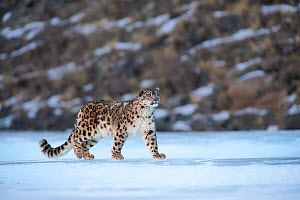 Snow leopard (Uncia uncia) Altai Mountains, Mongolia. March.  -  Valeriy Maleev
