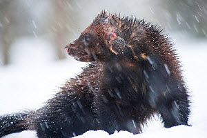 Wolverine (Gulo gulo) in snow, Finland. April. - Valeriy Maleev