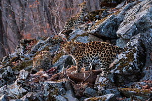 Amur leopard (Panthera pardus orientalis) female with juveniles, Land of the Leopard National Park, Primorsky Krai, Far East Russia. March.  -  Valeriy Maleev