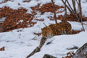 Amur leopard (Panthera pardus orientalis) walking in snow, Land of the Leopard National Park, Primorsky Krai, Far East Russia. February.  -  Valeriy Maleev