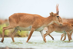 Saiga antelope (Saiga tatarica) male with horns, crossing water, Astrakhan, Southern Russia, Russia. October.  -  Valeriy Maleev
