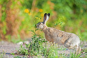 European hare (Lepus europaeus) sniffing plant, Moscow, Russia.  October.  -  Valeriy Maleev