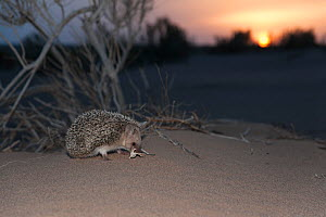 Long-eared hedgehog (Hemiechinus auritus) at sunset, Gobi Desert, Mongolia. May.  -  Valeriy Maleev