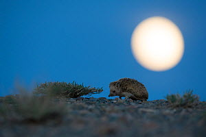 Long-eared hedgehog (Hemiechinus auritus) at night with the moon, Gobi Desert, Mongolia. May.  -  Valeriy Maleev