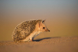 Long-eared hedgehog (Hemiechinus auritus) Gobi Desert, Mongolia. May.  -  Valeriy Maleev