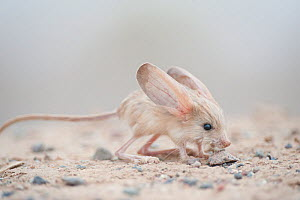 Long-eared jerboa (Euchoreutes naso) South Gobi Desert, Mongolia. June. Did you know that the Long-eared jerboa is the mammal with the largest ears in proportion to its body size? - Valeriy Maleev