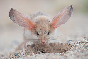 Long-eared jerboa (Euchoreutes naso) digging, South Gobi Desert, Mongolia. June. Did you know that the Long-eared jerboa is the mammal with the largest ears in proportion to its body size? - Valeriy Maleev