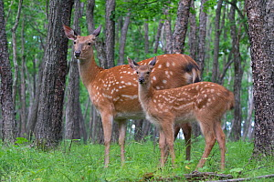 Sika deer (Cervus nippon) female and fawn, Vladivostok, Primorsky Krai, Far East Russia.  July.  -  Valeriy Maleev