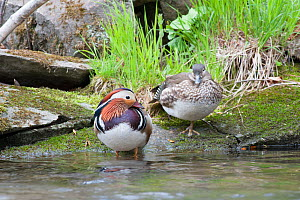 Mandarin duck (Aix galericulata) male female pair, Vladivostock, Primorsky Krai, Far East Russia. May.  -  Valeriy Maleev