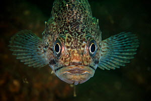 Korean rockfish (Sebastes schlegelii) in Bohai Sea, Yellow Sea. Zhifu Island, Shandong Province, China.  -  Magnus Lundgren / Wild Wonders of China