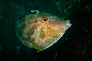 Filefish (Monacanthidae) in Bohai Sea, Yellow Sea. Zhifu Island, Shandong Province, China.  -  Magnus Lundgren / Wild Wonders of China