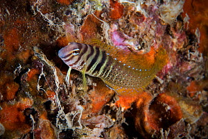 Combtooth blenny (Omobranchus elegans) in Bohai Sea, Yellow Sea. Zhifu Island, Shandong Province, China.  -  Magnus Lundgren / Wild Wonders of China