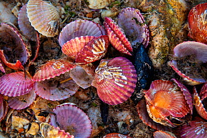 Bivalves on the rocky shore, Zhifu Island. Shandong Province, China.  -  Magnus Lundgren / Wild Wonders of China