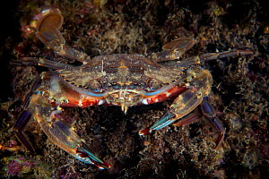 Lady crab (Charybdis japonica). Gulf of Bohai, Yellow Sea. Penglai / Dengzhou / Tengchow, Yantai, Shandong Province, China.  -  Magnus Lundgren / Wild Wonders of China