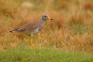 Grey-headed lapwing (Vanellus cinereus) walking on green grass in Inner Mongolia, China - Staffan Widstrand / Wild Wonders of China
