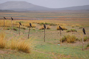 Black-eared kites (Milvus lineatus) perched on line of fence poles, Inner Mongolia, China  -  Staffan Widstrand / Wild Wonders of China