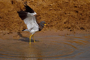 Grey-headed lapwing (Vanellus cinereus) spreading wings in water in Inner Mongolia, China - Staffan Widstrand / Wild Wonders of China