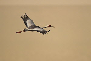White-naped crane (Grus vipio) flying, Inner Mongolia, China  -  Staffan Widstrand / Wild Wonders of China