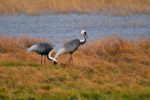Two White-naped cranes (Grus vipio), with two chicks walking on grass besides water in Inner Mongolia, China - Staffan Widstrand / Wild Wonders of China