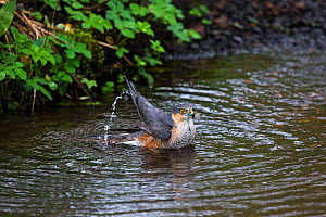 Eurasian sparrowhawk (Accipiter nisus) male bathing in pool in garden stream, Corfe Mullen, Dorset, England, UK. April. - Mike Read