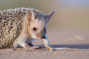 Long-eared hedgehog (Hemiechinus auritus) feeding on lizard prey, Gobi Desert, Mongolia. May.  -  Valeriy Maleev