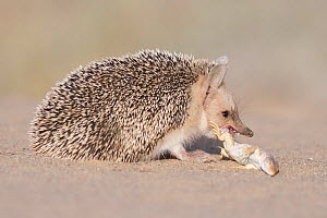 Long-eared hedgehog (Hemiechinus auritus) feeding on lizard prey, Gobi Desert, Mongolia. June.  -  Valeriy Maleev