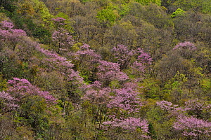 Landscape of with flowering Cherry trees (Prunus sp) Tangjiahe National Nature Reserve,Qingchuan County, Sichuan province, China - Staffan Widstrand / Wild Wonders of China