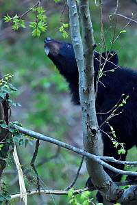 Asian black bear (Ursus thibetanus) feeding on leaves of a tree , Tangjiahe National Nature Reserve,Qingchuan County, Sichuan province, China  -  Staffan Widstrand / Wild Wonders of China