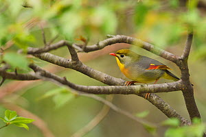 Red-billed leiothrix, Leiothrix lutea, sitting on a branch , Tangjiahe National Nature Reserve,Qingchuan County, Sichuan province, China  -  Staffan Widstrand / Wild Wonders of China
