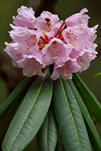 Rhododendron (Rhododendron sp) in flower, Tangjiahe National Nature Reserve,Qingchuan County, Sichuan province, China  -  Staffan Widstrand / Wild Wonders of China