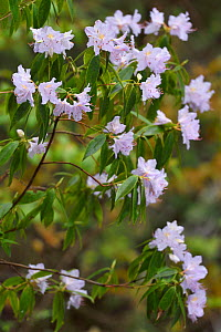 Rhododendron (Rhododendron sp) growing and blooming, Tangjiahe National Nature Reserve,Qingchuan County, Sichuan province, China  -  Staffan Widstrand / Wild Wonders of China