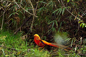 Golden pheasant (Chrysolophus pictus) standing, Tangjiahe National Nature Reserve, Sichuan Province, China - Staffan Widstrand / Wild Wonders of China
