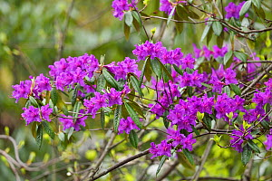 Rhododendron (Rhododendron sp) flowers blooming purple, Tangjiahe National Nature Reserve,Qingchuan County, Sichuan province, China  -  Staffan Widstrand / Wild Wonders of China