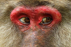 Tibetan macaque (Macaca thibetana) close up of eyes of female, Tangjiahe National Nature Reserve, Qingchuan County, Sichuan province, China  -  Staffan Widstrand / Wild Wonders of China