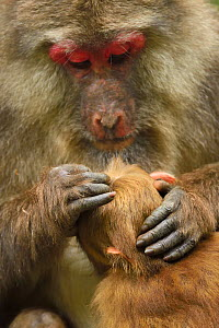 Tibetan macaque (Macaca thibetana) female grooming infant, Tangjiahe National Nature Reserve, Qingchuan County, Sichuan province, China  -  Staffan Widstrand / Wild Wonders of China